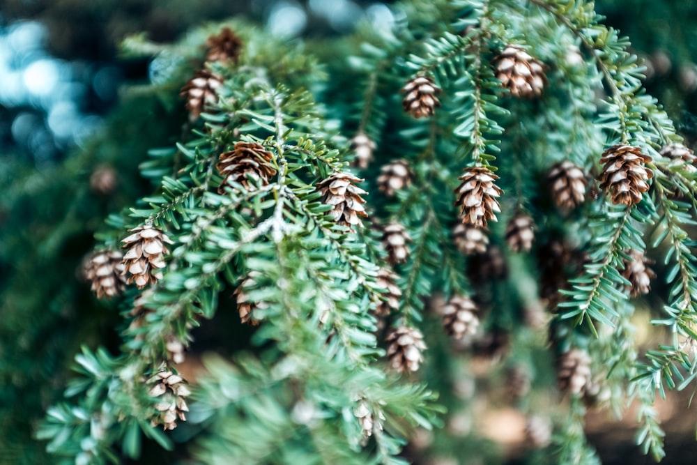 pine cone plant