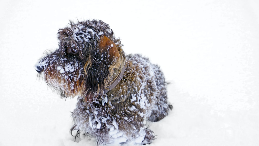 small-size brown long-coated dog