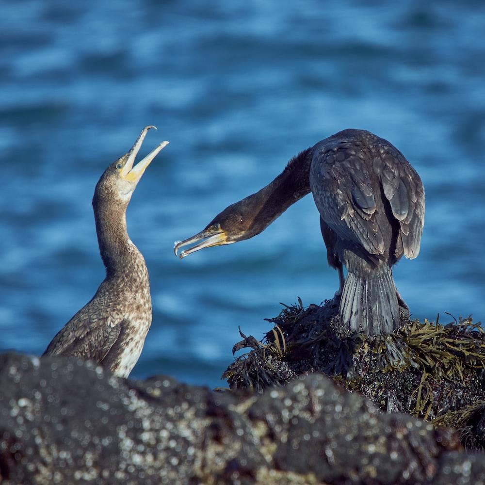 two black and grey birds feeding
