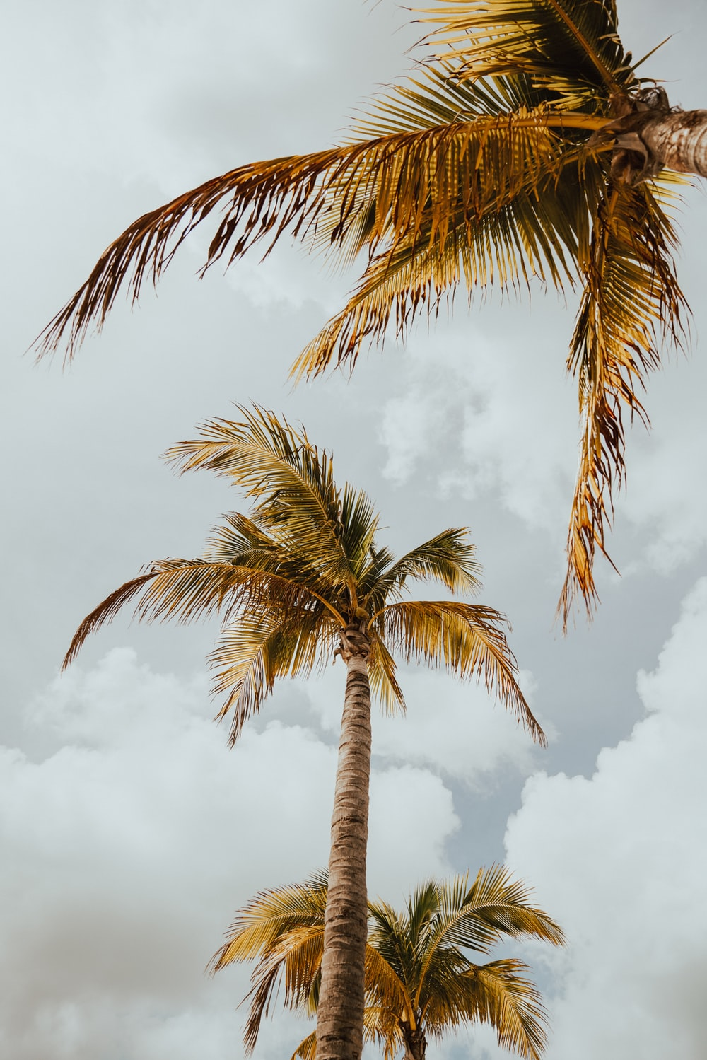 three coconut palm trees