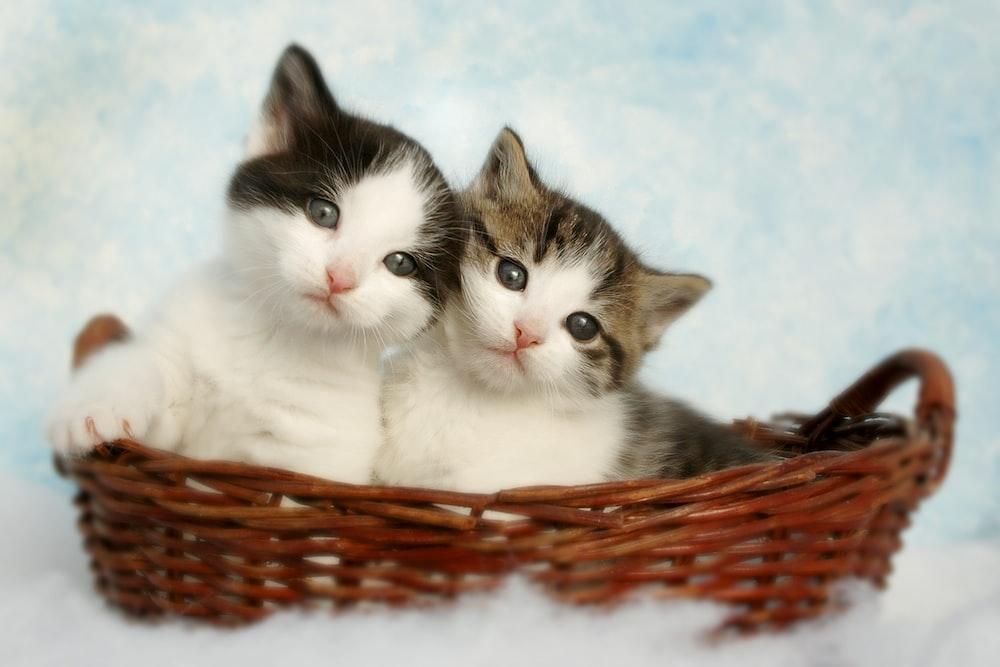 two silver tabby kittens
