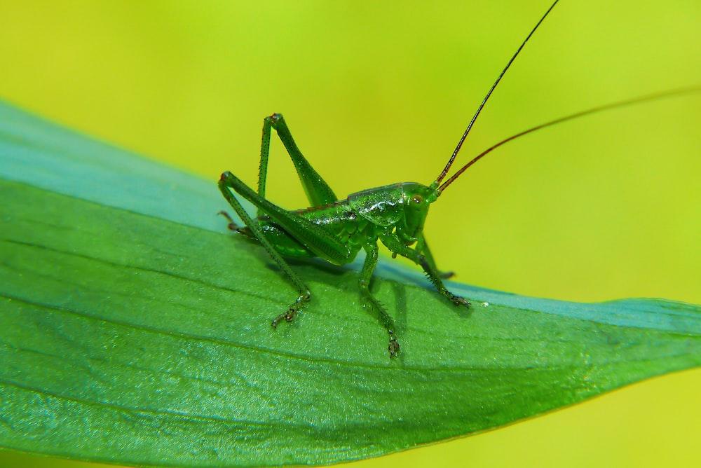 green grasshopper on green leaf