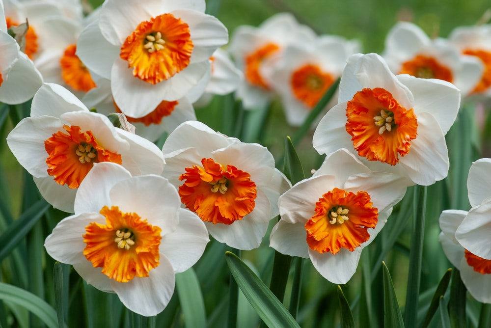 white and orange Daffodil flower