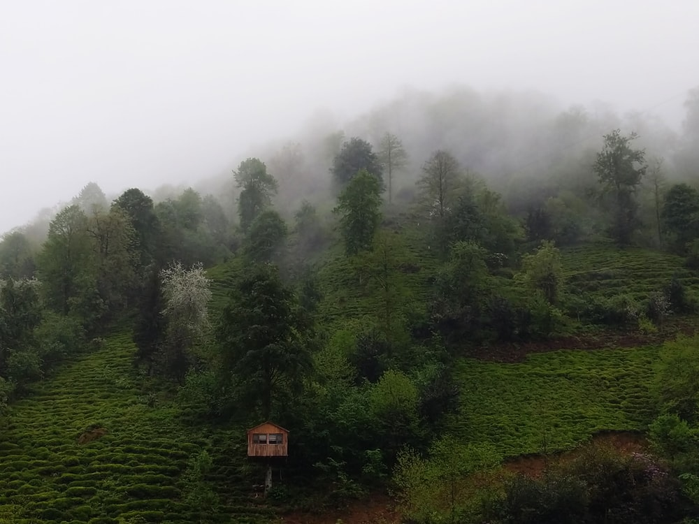 green trees and fog