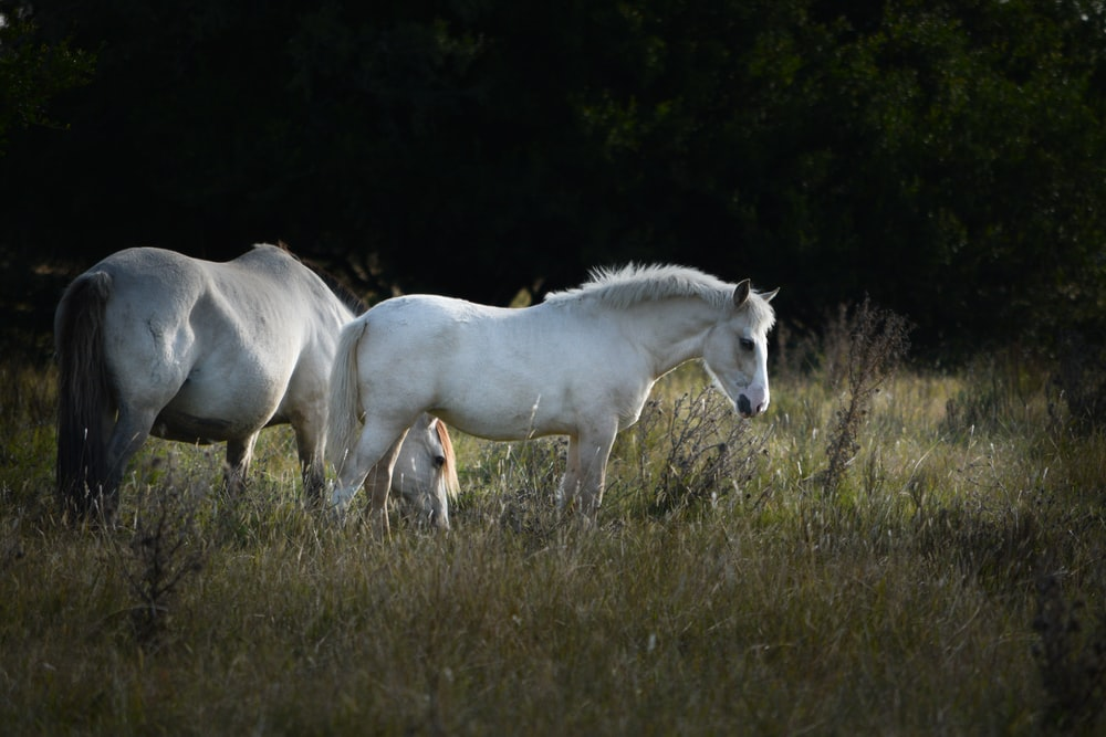 photography of two white horse on green grass