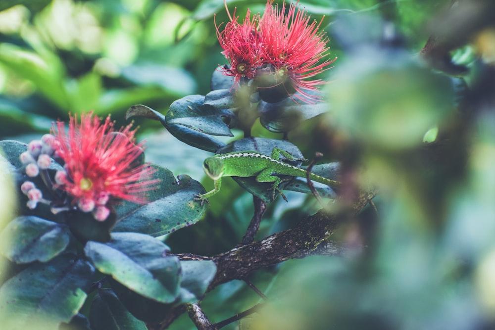 green lizard in red flowering plant