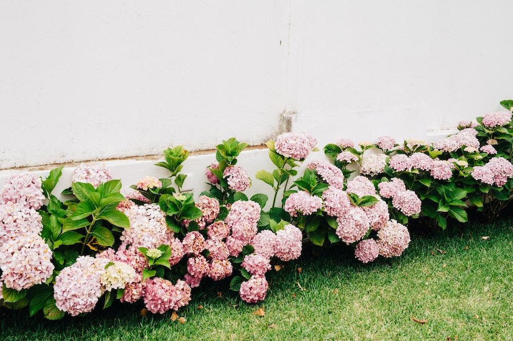 pink-petaled flowers beside white wall