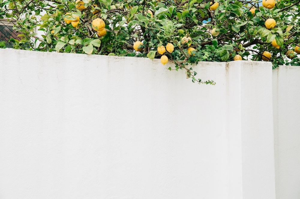 lemon tree beside white concrete wall