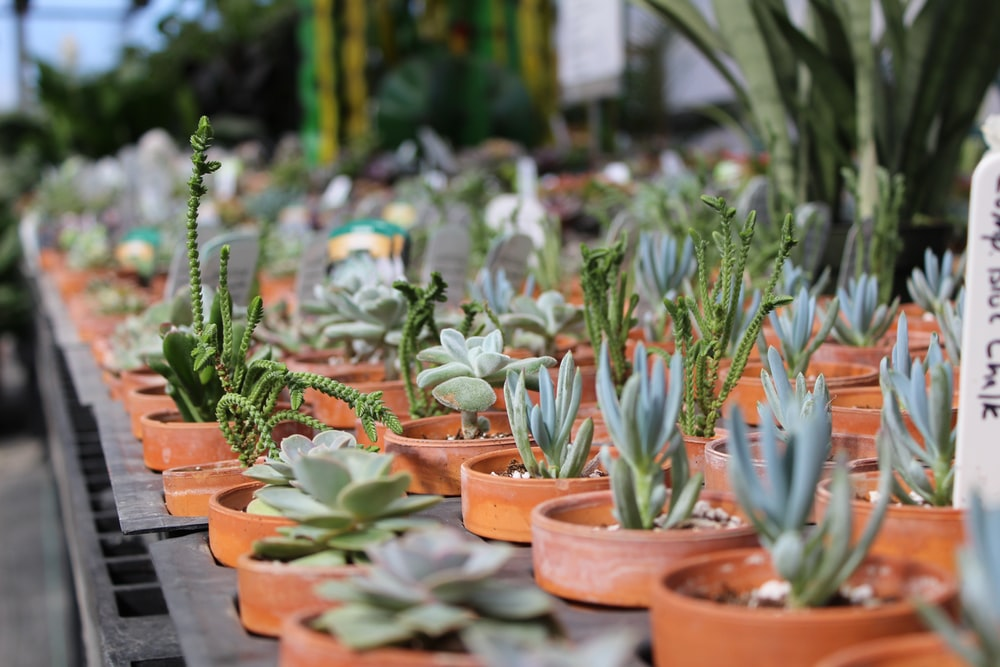 rows of succulents in brown pots