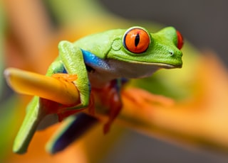 selective photography of red-eyed tree frog