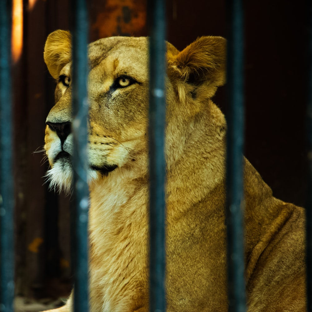 macro photography of lioness in cage