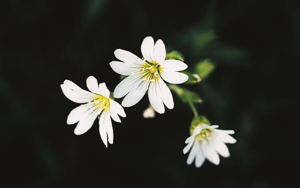 three white petaled flower