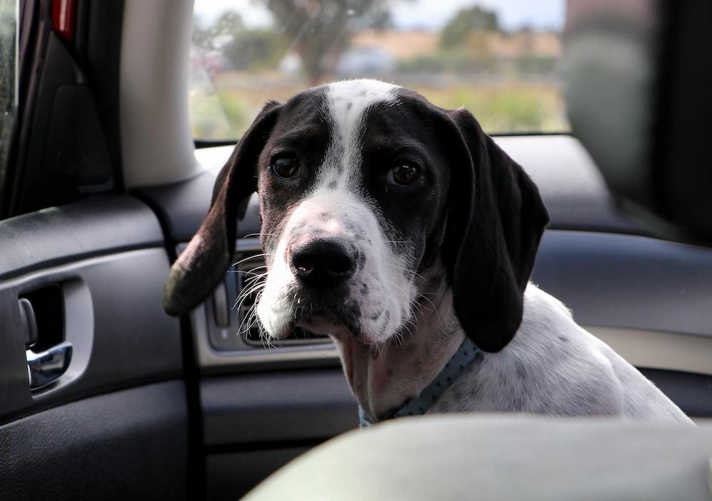 black and white short-coat dog sitting on car seat