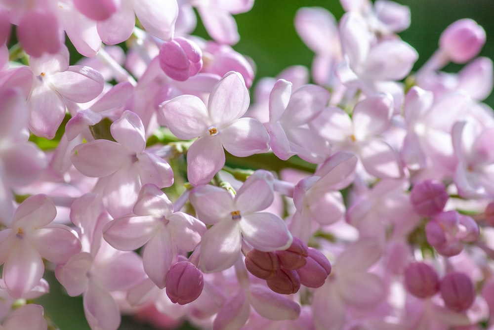 bokeh photography of pink and white flowers