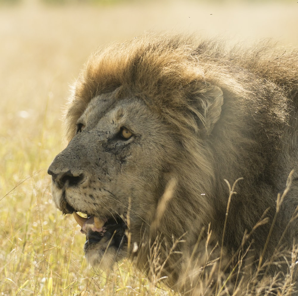 adult lion on grass field