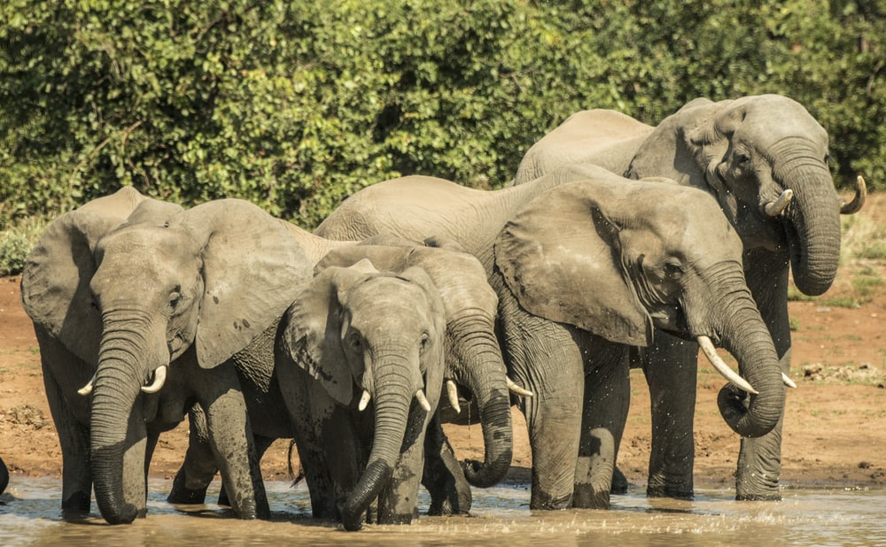 herd of elephant standing near body of water