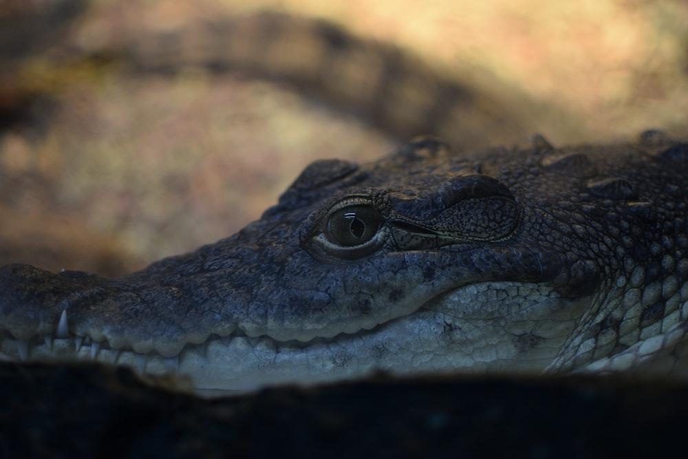 close-up photo of crocodile