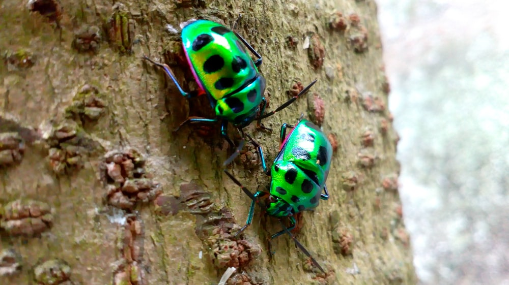 two green bugs on tree trunk