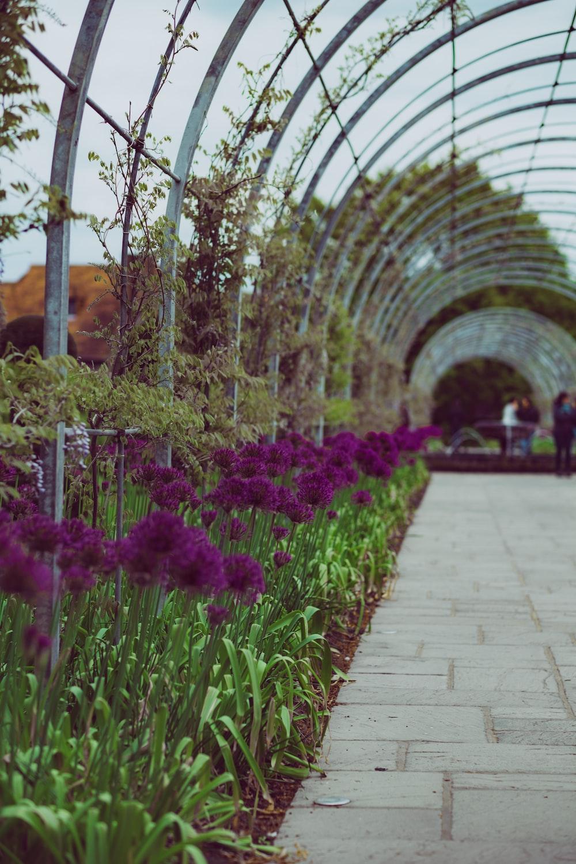 purple flowers in bloom inside greenhouse