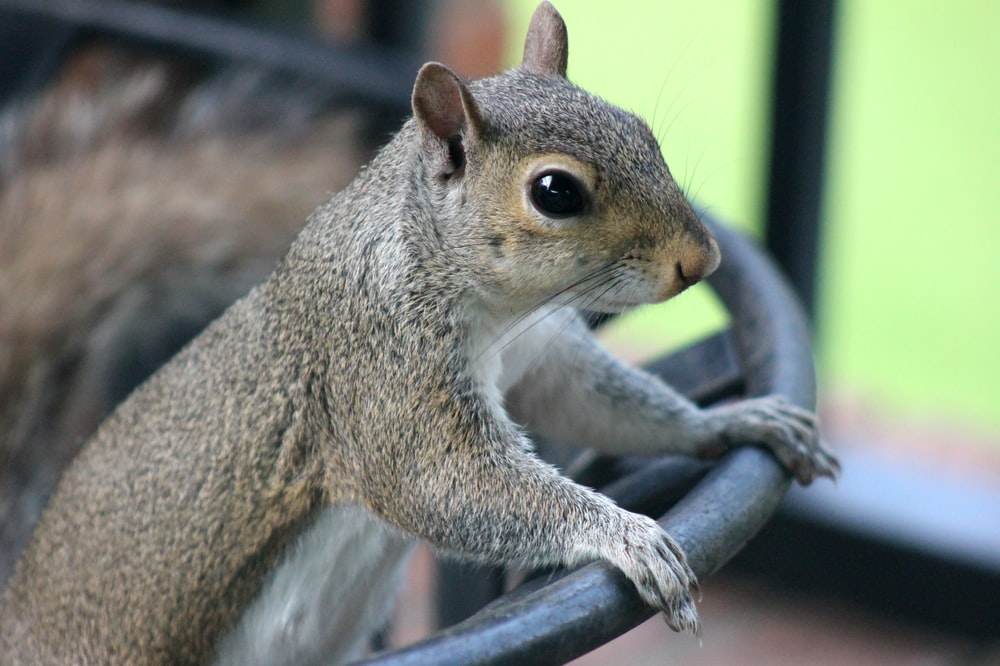 brown squirrel on grey metal railings