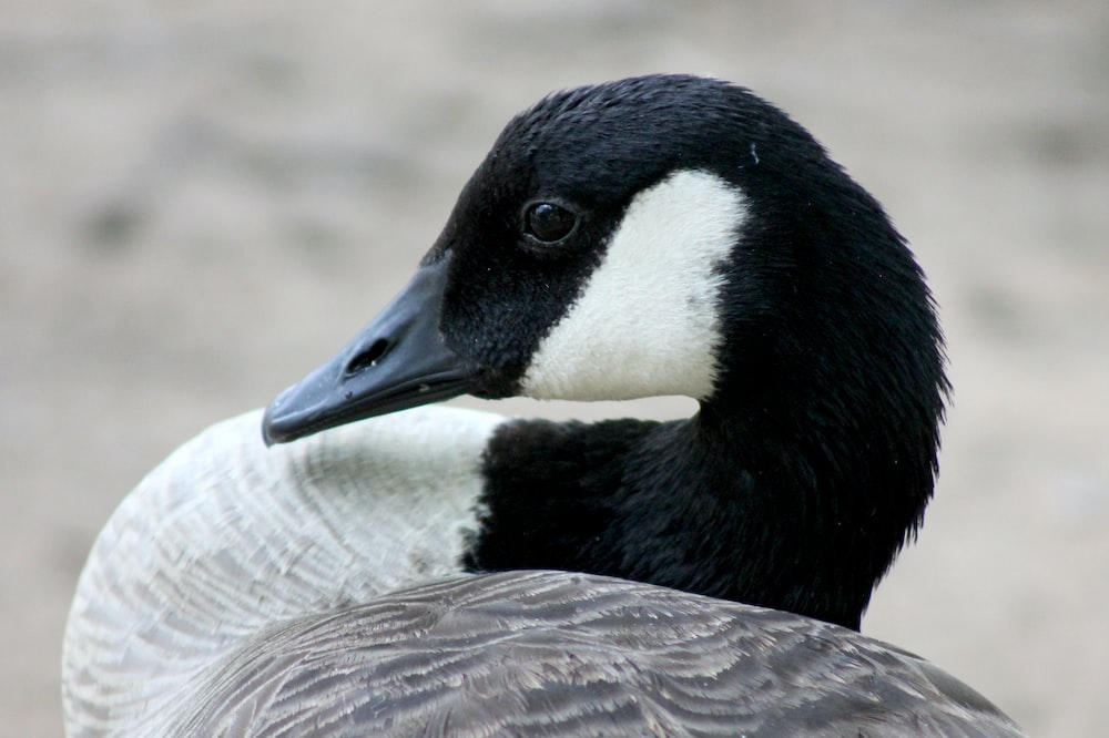 shallow focus photo of black and white goose