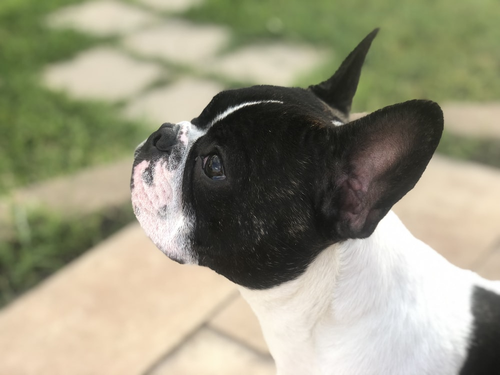small white and black dog