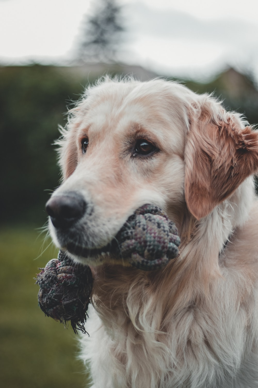 dog biting chew toy