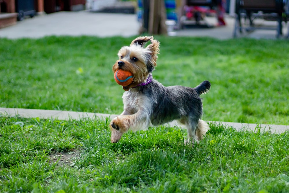 adult black and tan Yorkshire terrier fetching ball