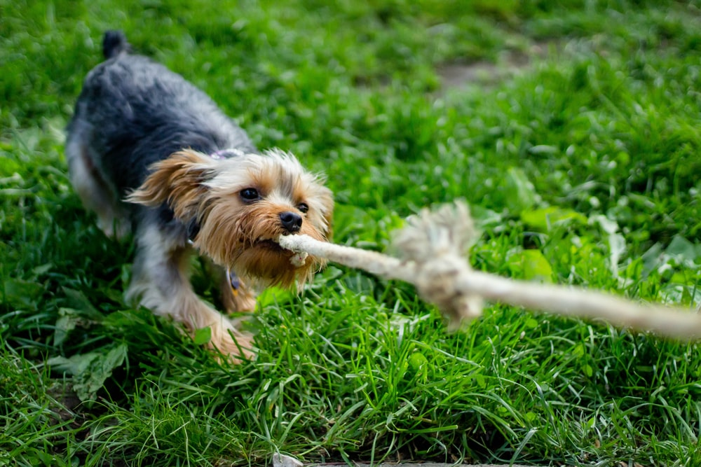 Morkie puppy pulling the rope