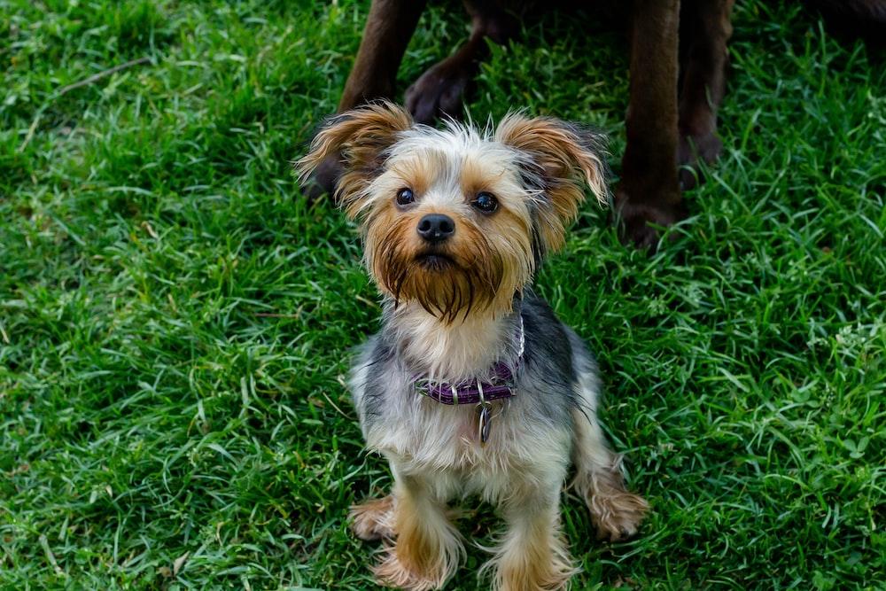 Yorkshire terrier puppy sitting on gras