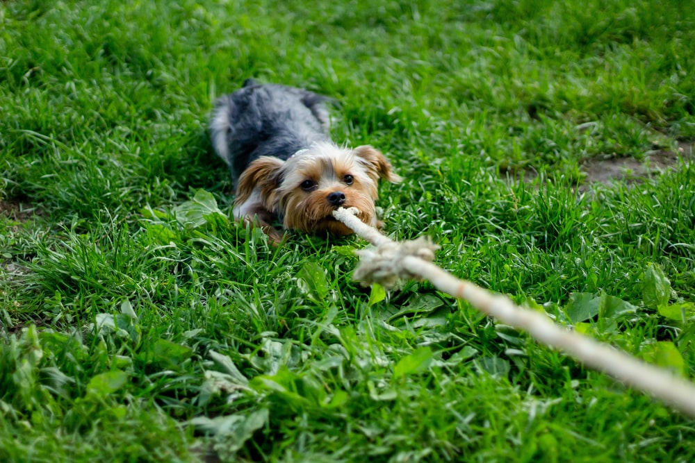 Yorkshire terrier pulling a rope
