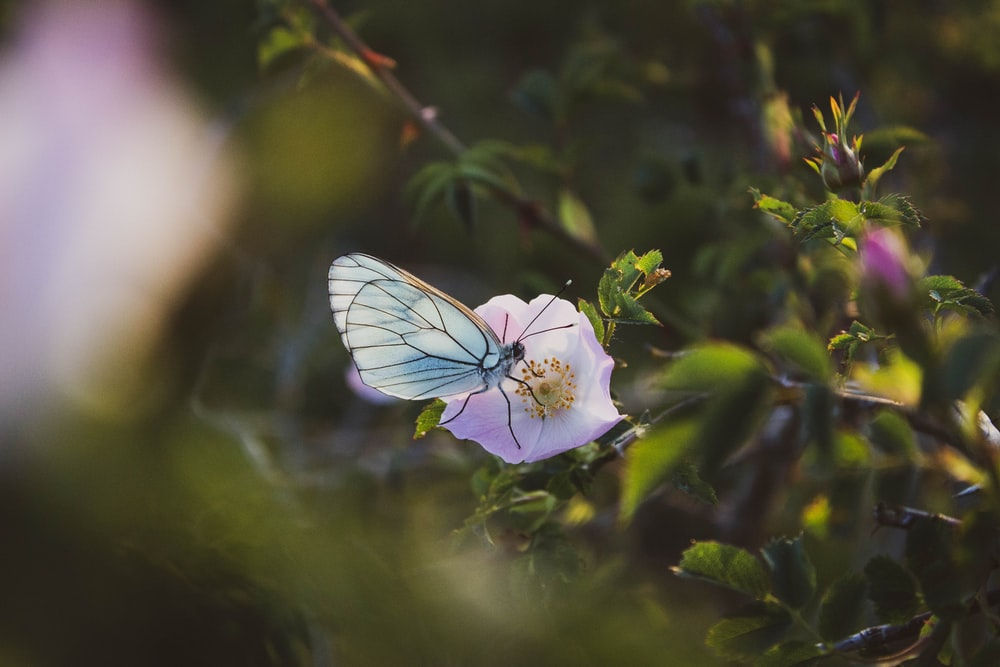 selective focus photography of blue butterfly perching on pink petaled flower