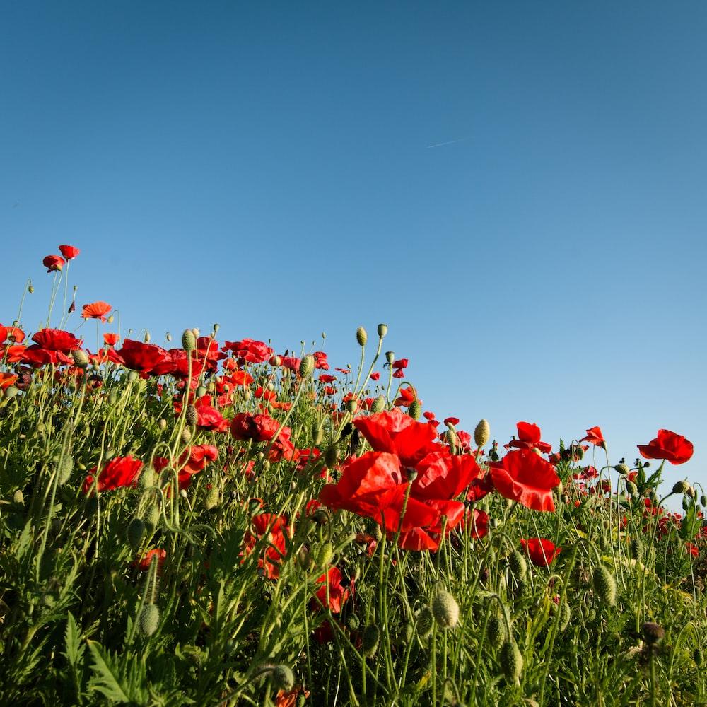 bed of red poppy flower