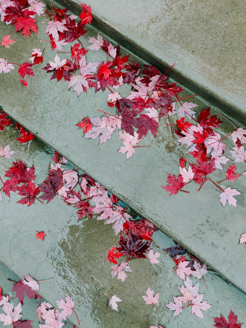 red and pink maple leaf
