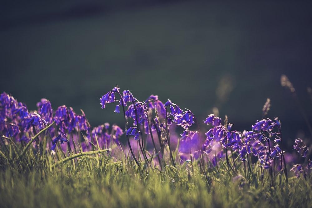 purple flowers blooming in the field