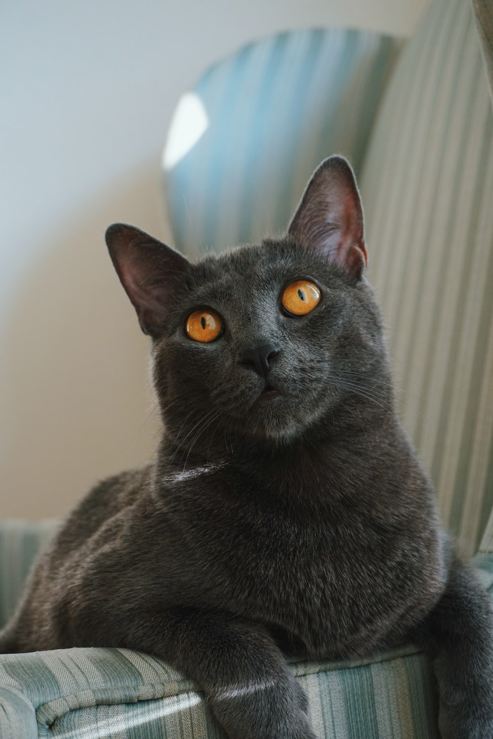 The Reasons To Buy A Russian Blue Cat