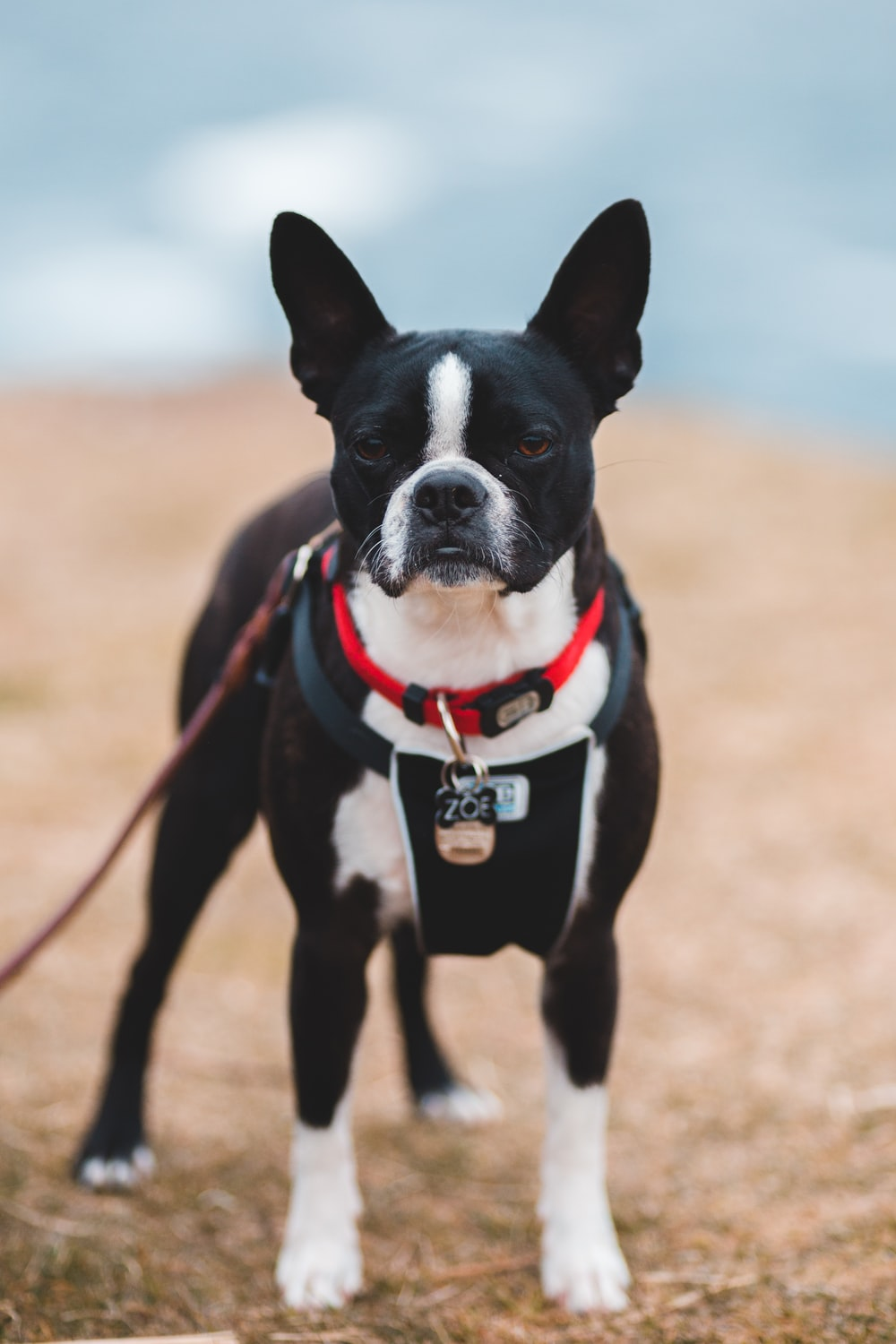 black and white short coated dog standing on ground