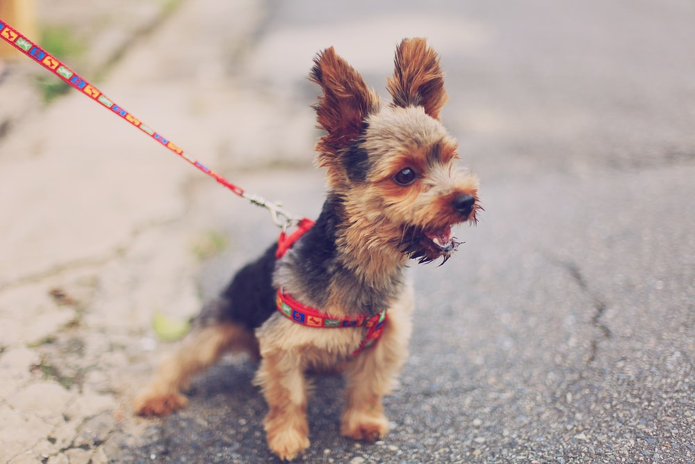 selective focus photography of brown and black yorkshire terrier puppy