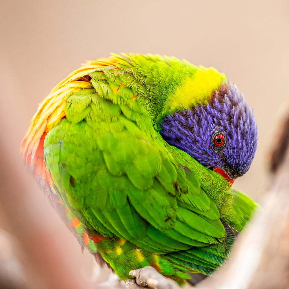 green, yellow, and blue bird in close-up photography