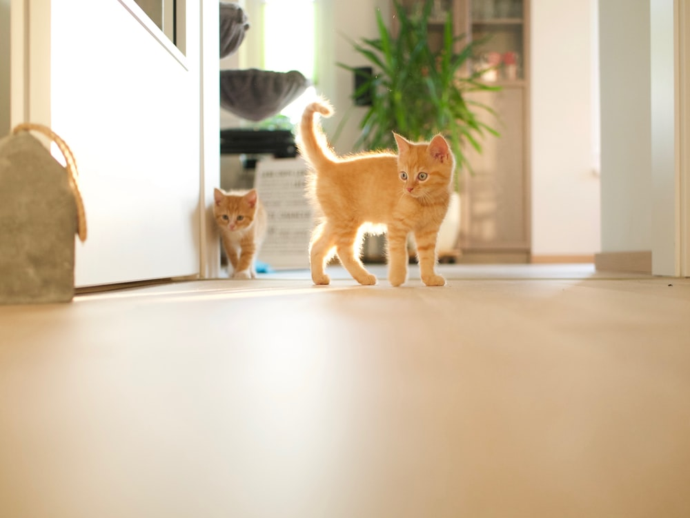orange tabby kittens