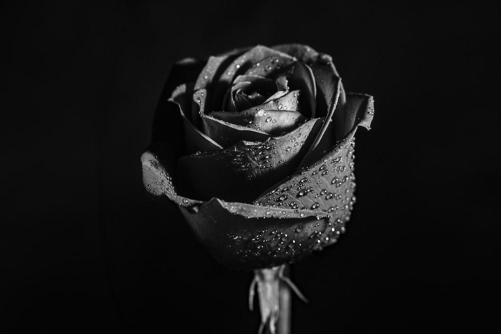 Best 100 Black Rose Pictures Download Free Images On Unsplash