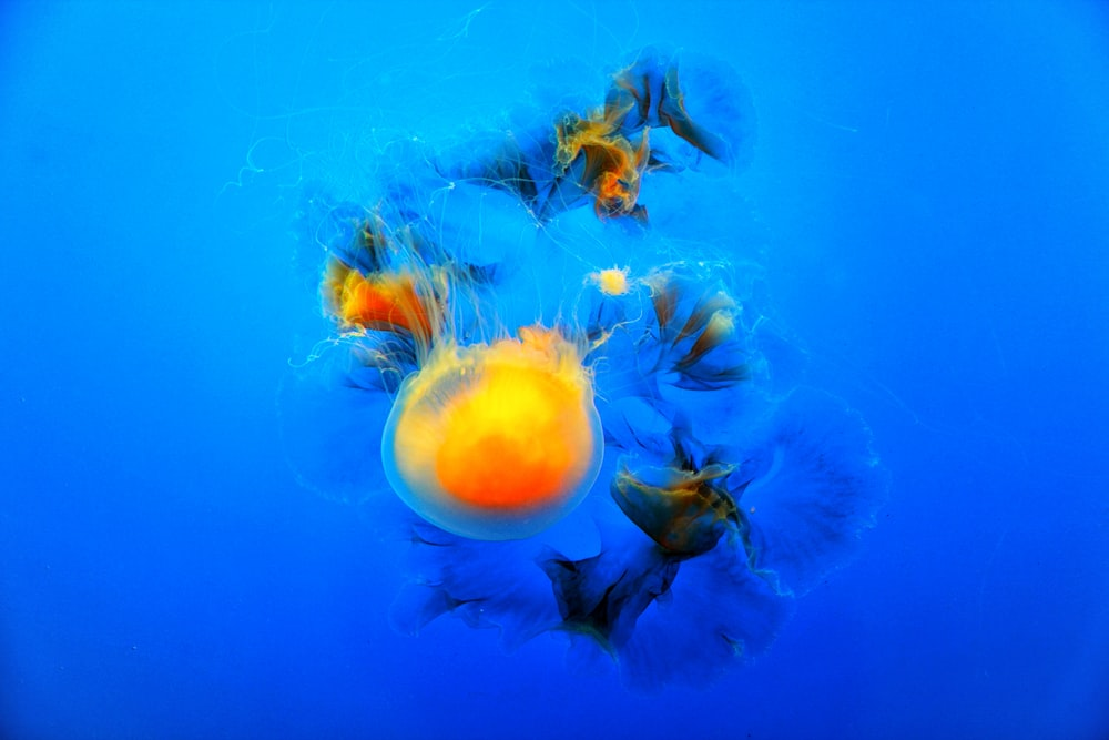 yellow and blue jelly fish