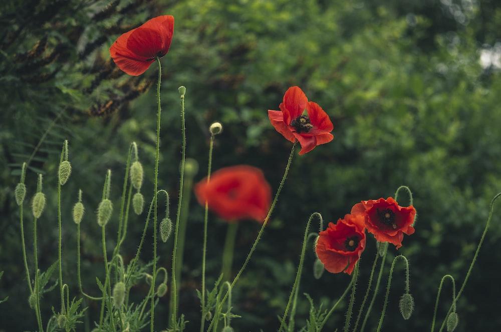 red California poppy flower