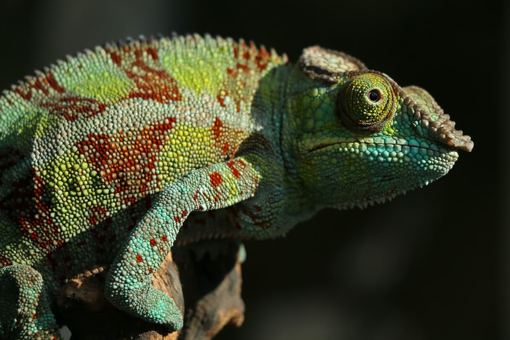 green and red chameleon