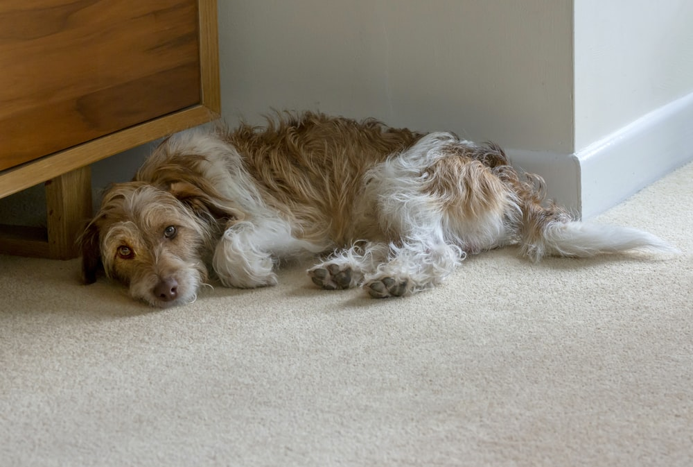 long-coated brown and white dog lying beside wall