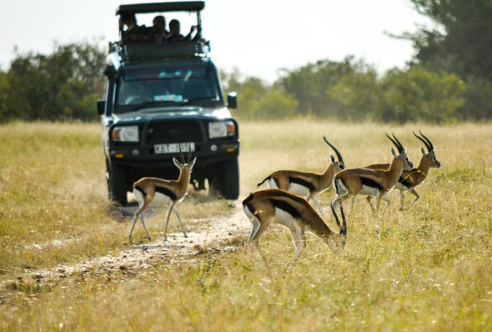vehicle running near the antelope during daytim
