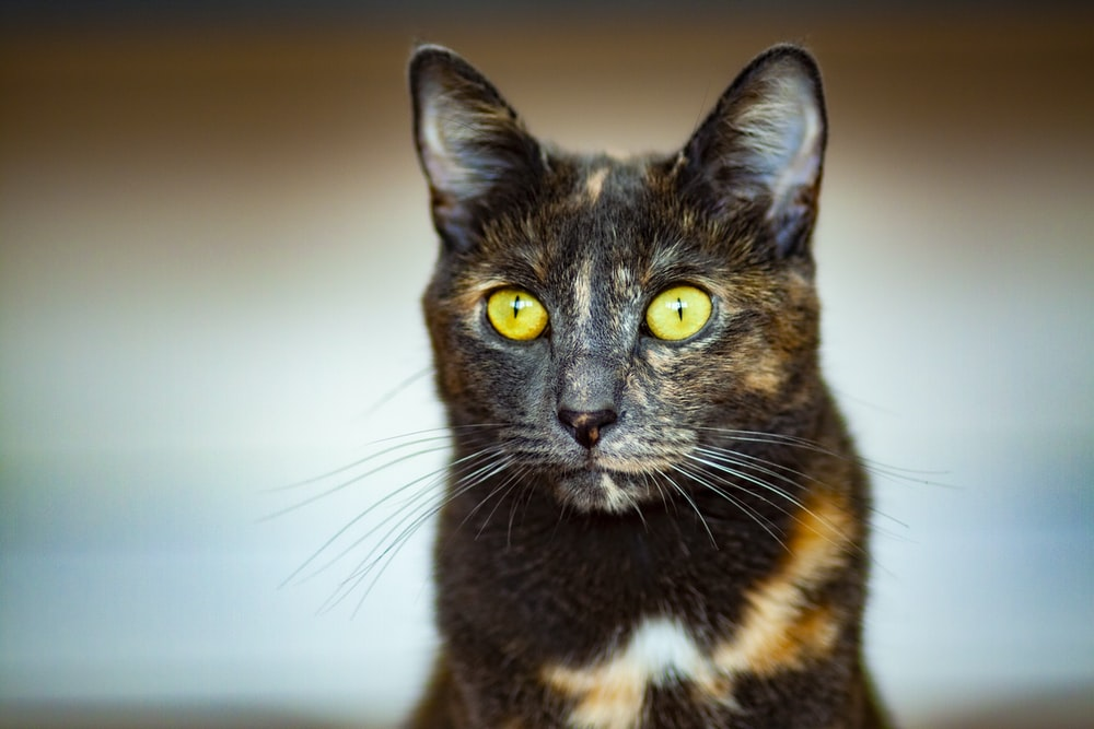 tortoiseshell cat in close-up photography