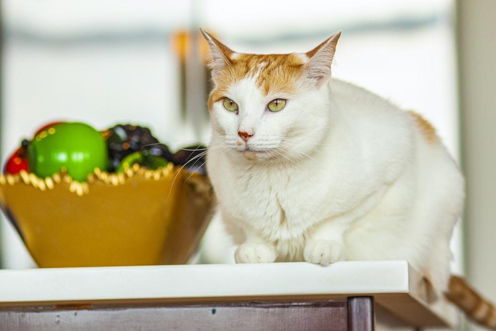 white and orange tabby cat