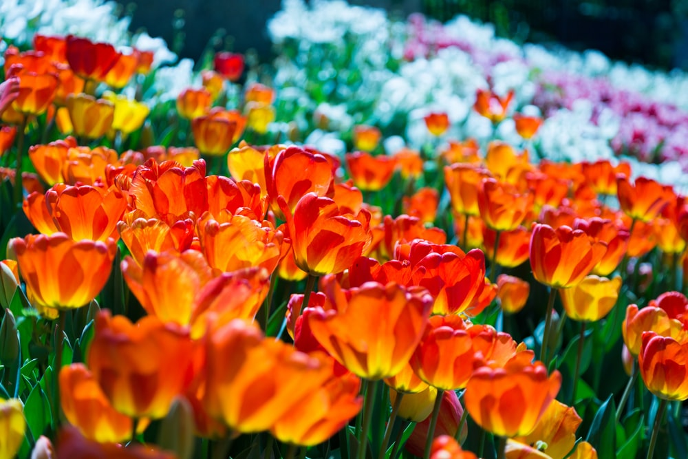 orange-and-red tulips