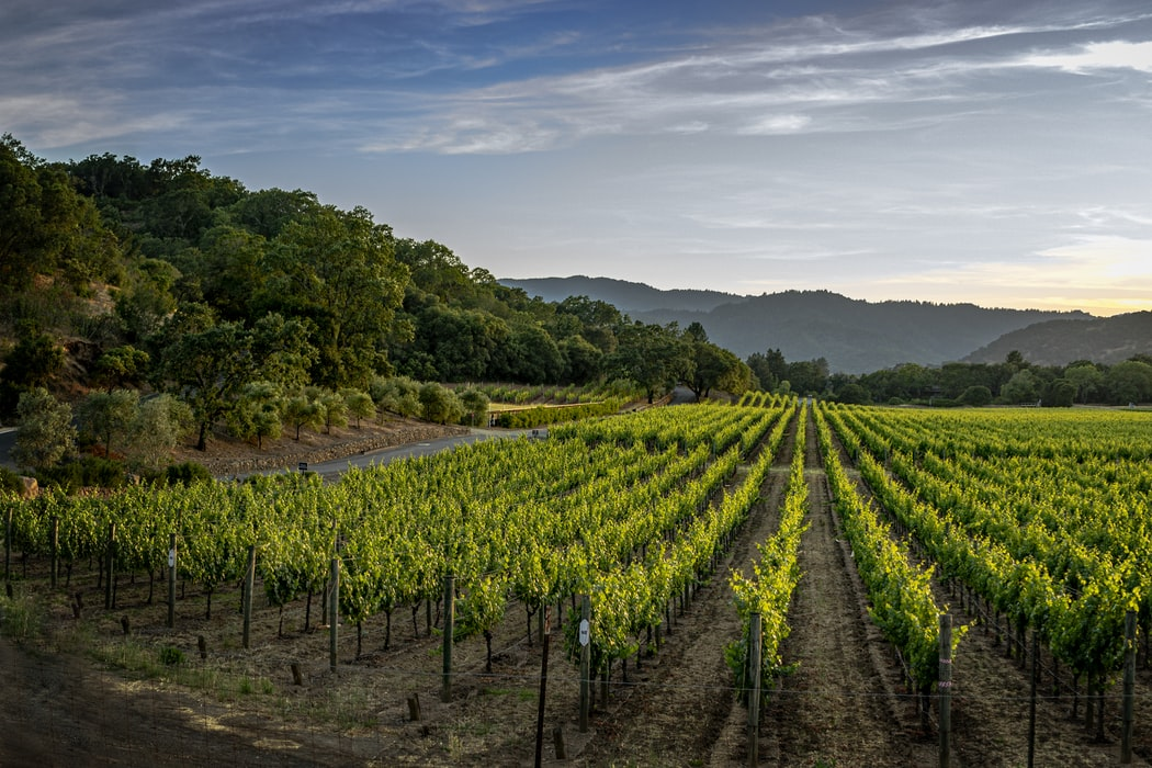 Georgian Vineyard